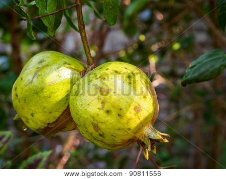 Unripe Pomegranate Fruit On Tree Branch
