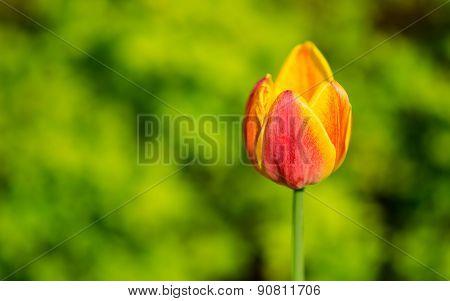Beautiful tulip