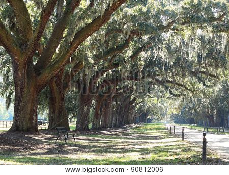 Majestic live oak angle Trees in a row