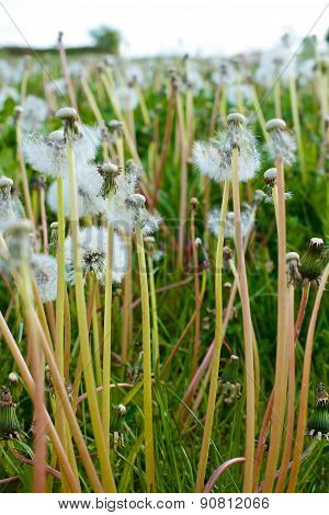 Dandelions Summer Meadow
