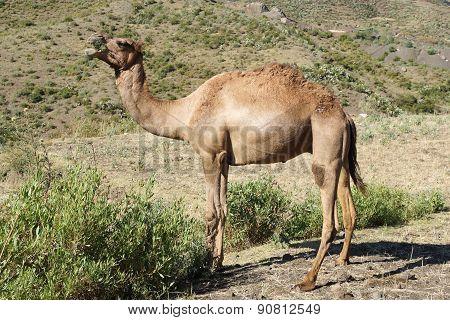 Camel, Ethiopia, Africa