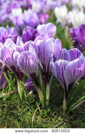 Purple And White Crocuses