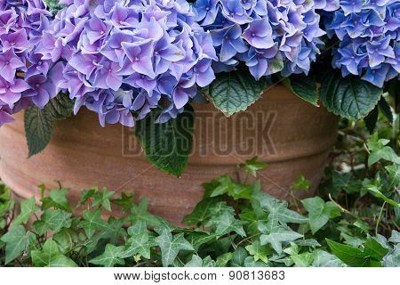 Purple hortensia flower