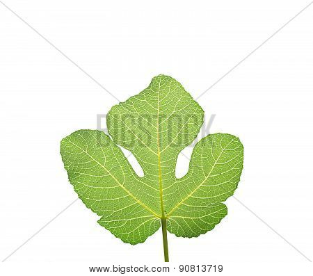 Fig leaf isolated on white.