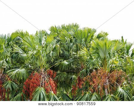 Date Palm Trees Isolated