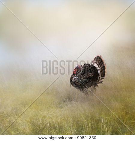 Turkey Male In A Field