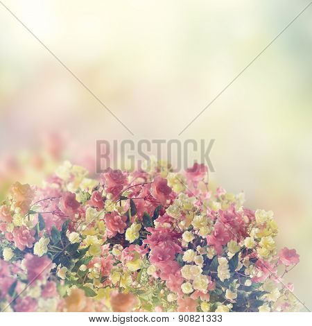 Colorful Begonia Flowers for Background