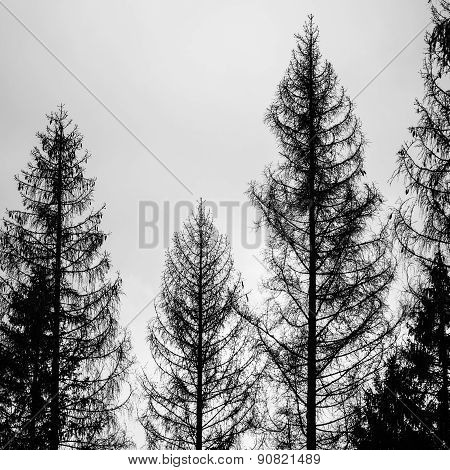 Old Spruce Trees, Silhouettes Over Cloudy Sky