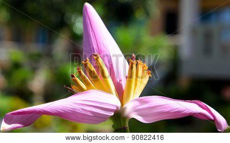 Banana Flower Blossoms