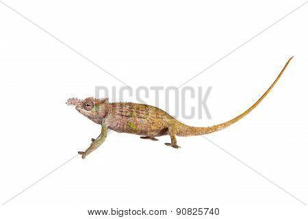 Boehme's chameleon, kinyongia boehmei, on white