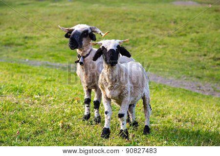 Valais Blacknose Sheep In  Alps