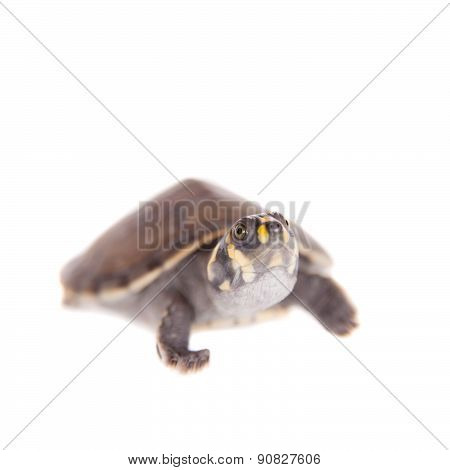 Yellow-spotted River Turtle, Podocnemis unifilis, on white