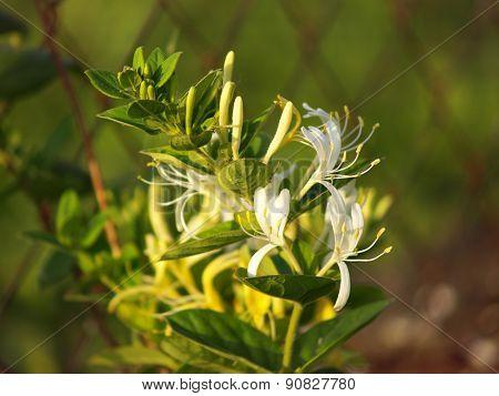 Beutiful blossom of a Caprifoliaceae