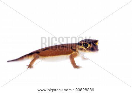 Pale Knob-tailed Gecko, Nephrurus laevissimus, on white