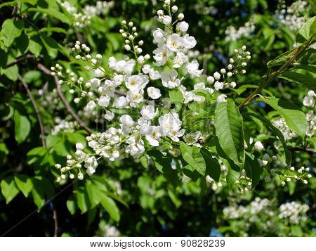 Bird-cherry flowers closeup