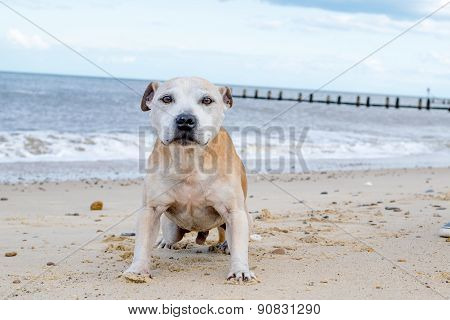 Old Staffy Dog At The Beach