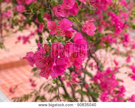 Beautiful Bright Pink Bougainvillea Flowers