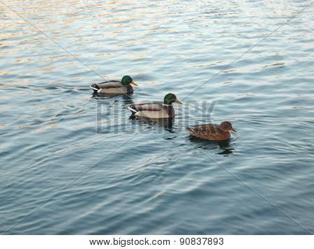 Ducks On Water