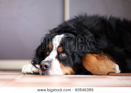 laying a swiss bernese dog