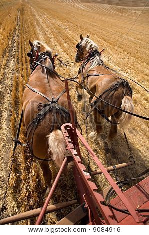 Working draft horses.