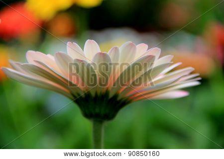 image of pretty daisy in garden