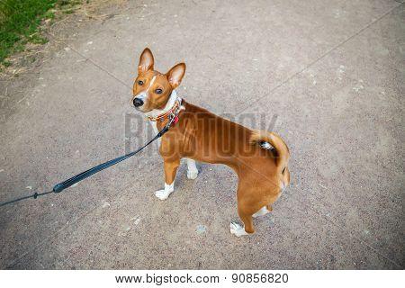 Basenji Dog With A Lead Walking Outside