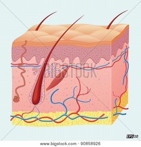 Human Hair Follicle - Illustration