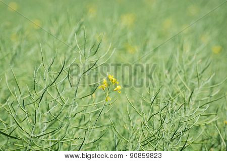 Seasonal Rapeseed Field