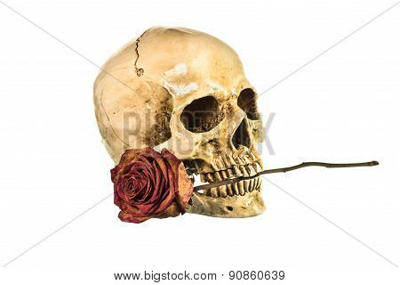 Dry Red Rose In Teeth Of Human Skull On White Background