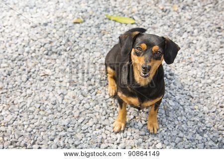 Black-brown Dachshund Sit Down.