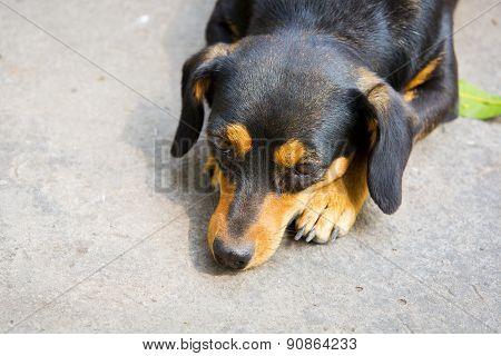 Dachshund Small Dog Resting.