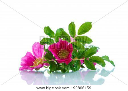 Flower Blooming Wild Rose
