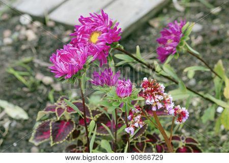 Dark Pink Astras In The Garden