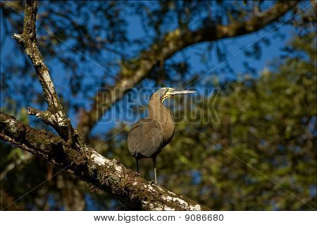 The Bare-throated Tiger Heron.