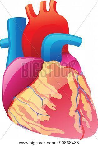 Human Heart - Illustration
