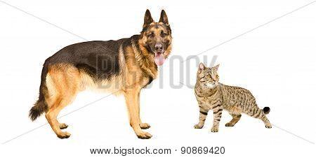 German Shepherd and cat Scottish Straight standing together