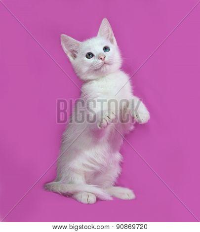 Fluffy White Kitten Standing On Hind Legs On Pink