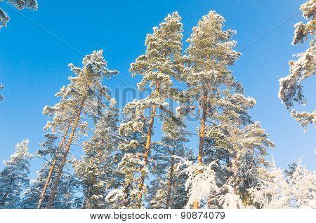 Cold Sunshine Snowy Fir Trees