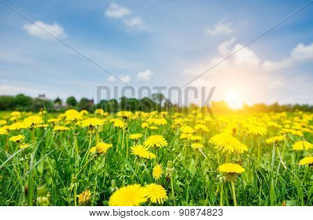 Fantastic field with fresh yellow dandelions flowers on the blue sky. Unusual scenery. Ukraine, Europe. Beauty world.