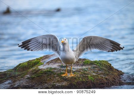 seagull on the stone