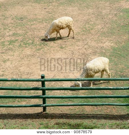 Sheep In Animal Farm