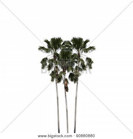 Betel Palm Heart Shape Isolated Clipping Path