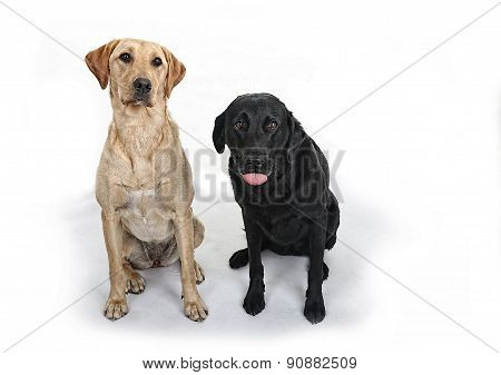 Golden and Black Labrador Dogs