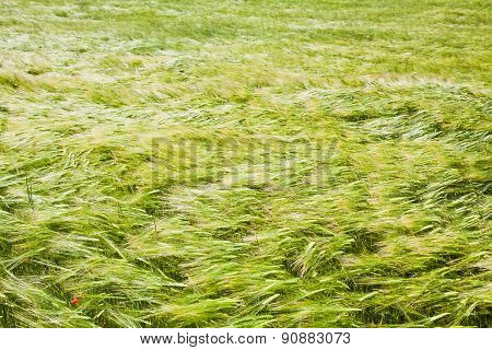 Blowing Wind In Barley Field