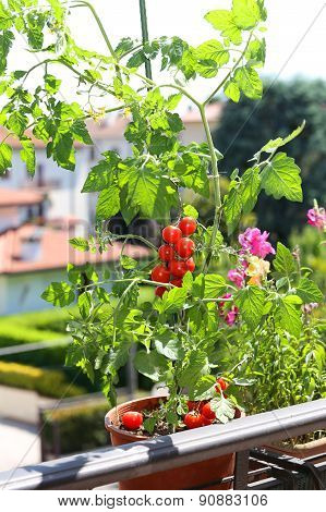 Pot With Tomato Plant In The Terrace