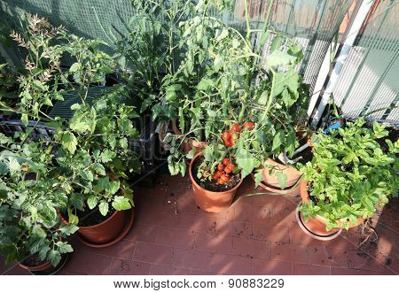 Urban Vegetable Garden With Tomato Plants