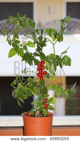 Plant Of Red Tomatoes In The Balcony Of A House