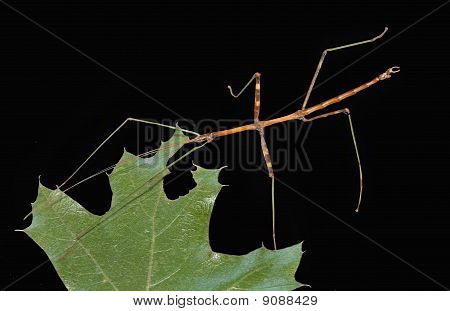 Male Walkingstick - Diapheromera Femorata