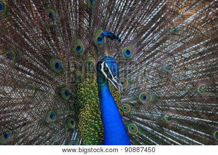 Close Up Beautiful Of Gorgeous Of Indian Peacock Fantail Feather Plumage