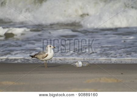 Seagull And Discarded Plastic Bottle